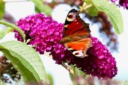 Peacock butterfly, Longniddry, nr Edinburgh