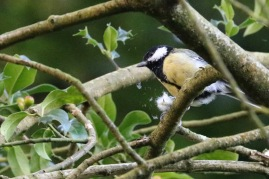 Great tit, Leigh Woods, nr Bristol