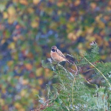 Stonechat, Shapwick Heath, Somerset