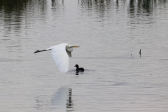Great Egret, Shapwick Heath, Somerset