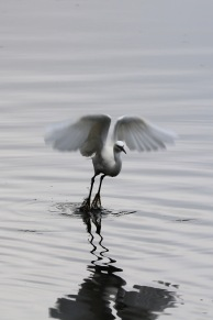 Little Egret, Shapwick Heath, Somerset