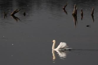 Mute Swan, Shapwick Heath, Somerset