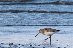 Bar-tailed godwit, Longniddry beach, East Lothian