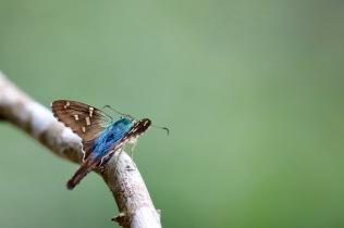 Moth, Tandayapa Lodge, Ecuador