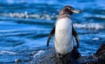 Galapagos penguin, Galapagos Islands