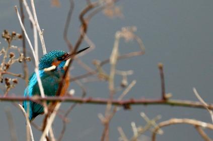 Common kingfisher, Shapwick Heath