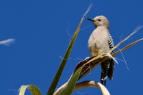 Gila woodpecker, Agua Caliente Park, Tucson, AZ