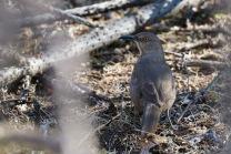 Curve bill thrasher, Agua Caliente Park, Tucson, AZ