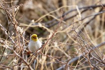 Verdin, Coronado National Forest