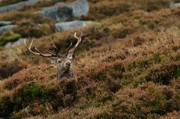 Red deer, Loch Muick