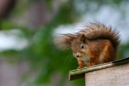 Red squirrel, Loch Muick
