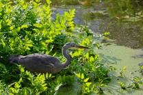 Grey heron, Ham Wall
