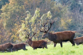 Red deer, Ashton Court