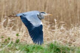 Grey heron, Ham Wall, Somerset
