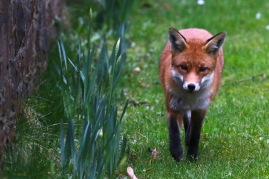 Urban fox, Clifton, Bristol