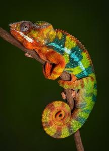 Panther Chameleon At Rest